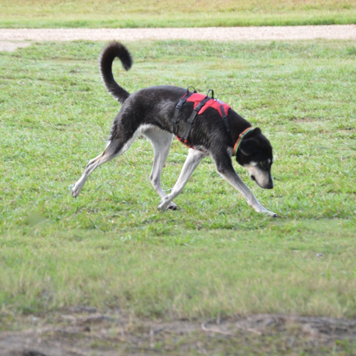 This pooch is built to run