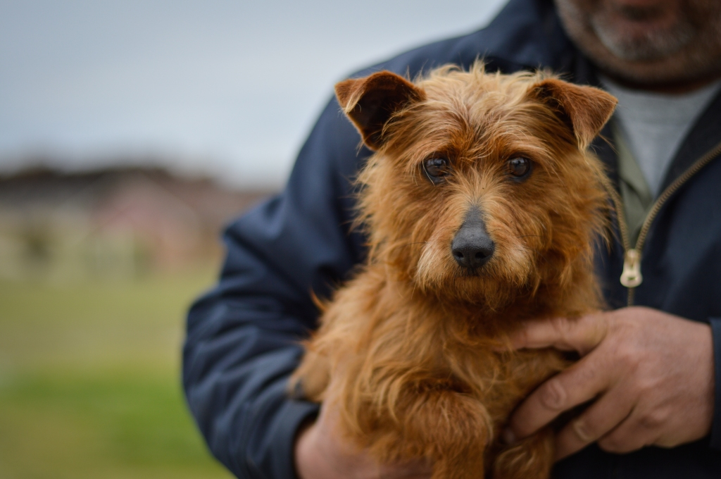 A scruffy terrier mix being held by a male shelter employee.