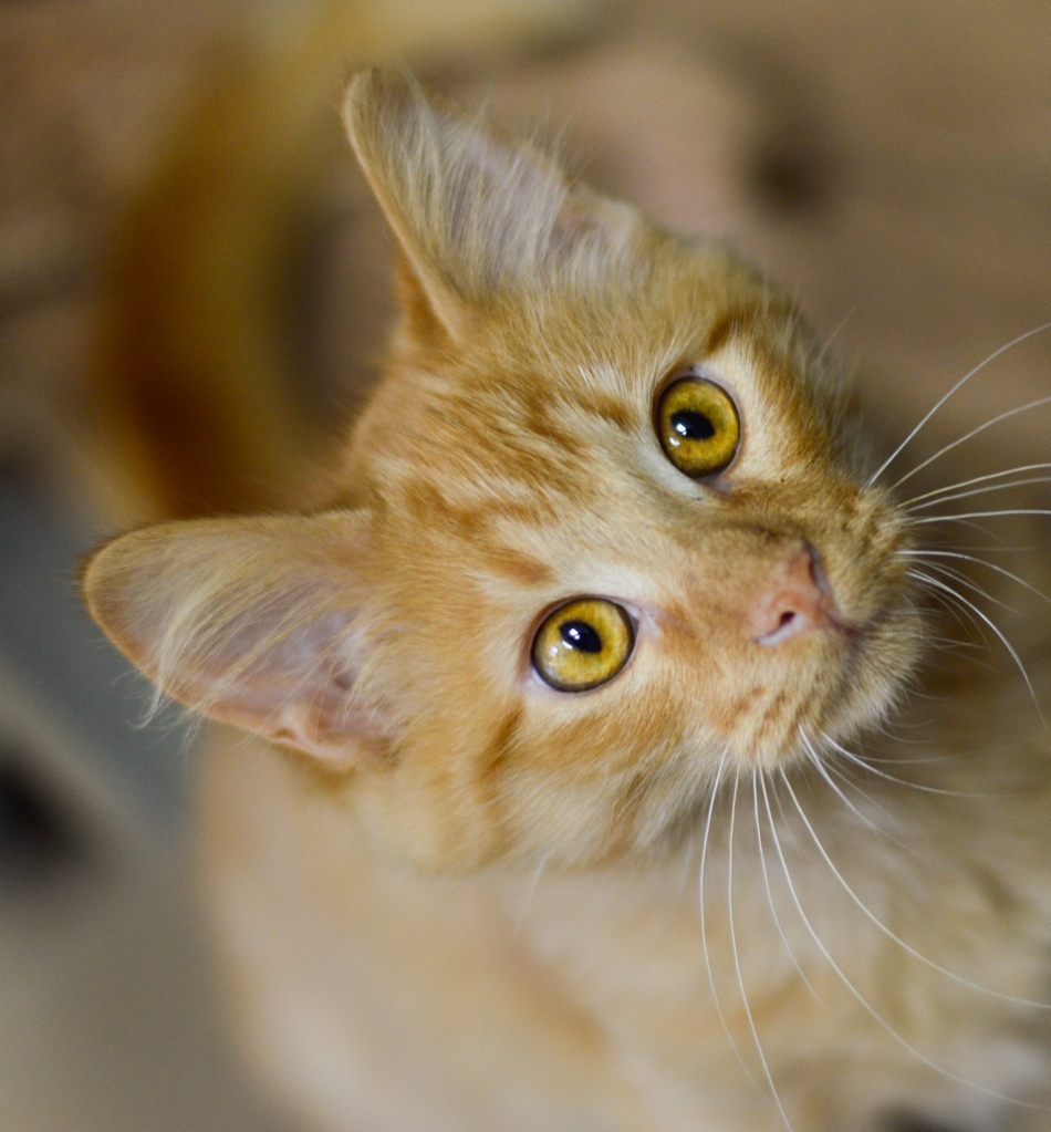 An orange cat looks up at the camera. Its eyes are yellow-gold and its whiskers are alert.